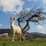 Asinello Bianco (Parco dell'Asinara)